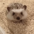 here is a gif of a hedgehog yawning and stretching, carry on with your day