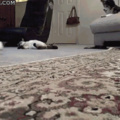 This cat who's all about that zoom zoom life