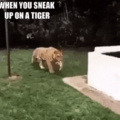 When you sneak up on a tiger