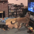Doggo is excited about bolt