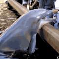 Quando o golfinho tem espírito de BR