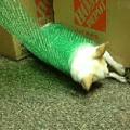 Chihuahua Spin