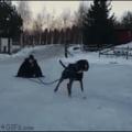 Doggo doesn't feel like pulling a sled