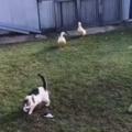 Duck duck cat