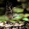 Araña gladiadora