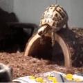 Quando você é uma tartaruga que curte desenhos animados chineses e vê uma giromba enterrada