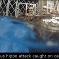 Hipopótamo salvaje ataca en cámara