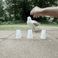 Seagull plays shell game